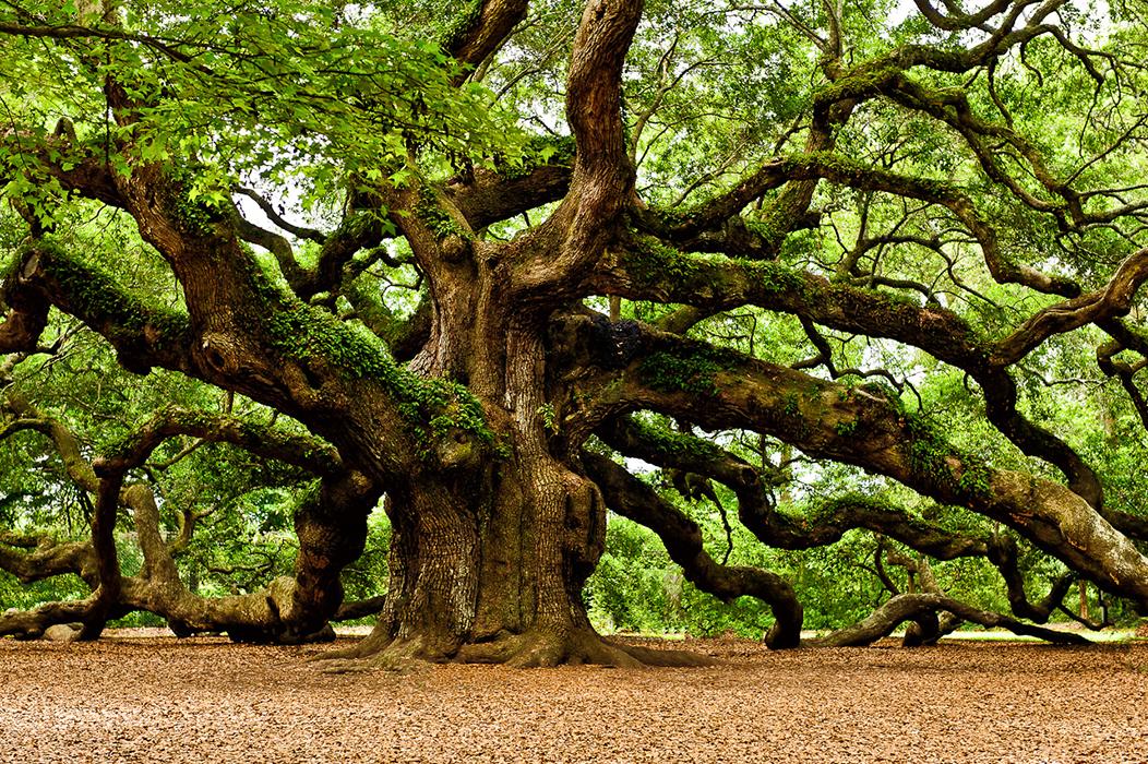 oak-06